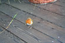 Robin on veranda