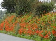 Orange flowers by the road